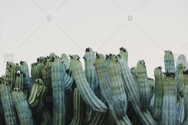 Tall green Cereus plant growing in cactus valley near different species against cloudless sky