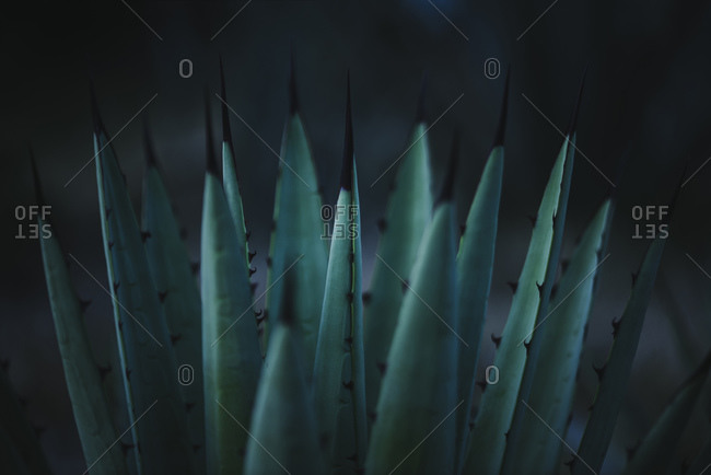 Closeup of sharp pointed fresh green Agave potatorum cactus plant growing in hothouse