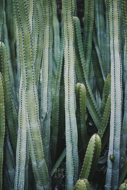 Crop view of green Cereus plant growing in cactus valley near different species against cloudless sky