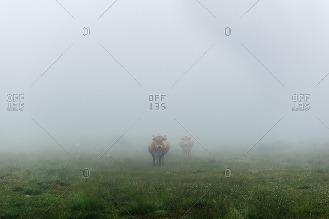 Herd of bulls grazing on green grass field in countryside during foggy cloudy day