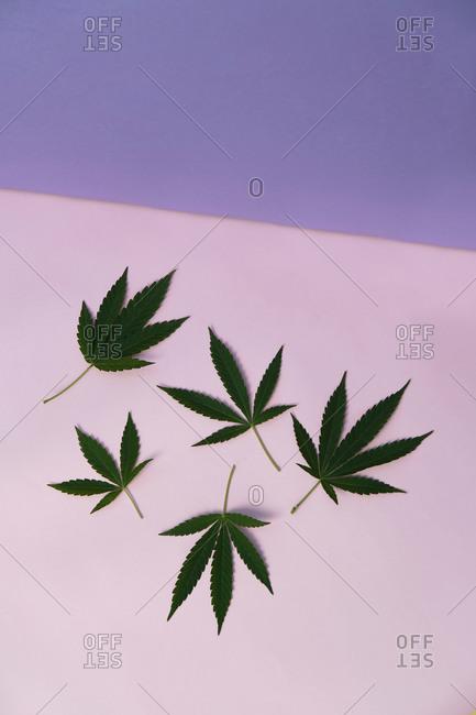 Marijuana leaves in pink background