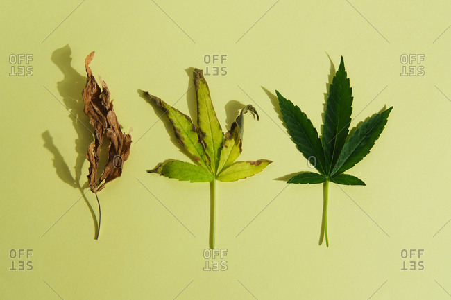 Marijuana leaves in green background