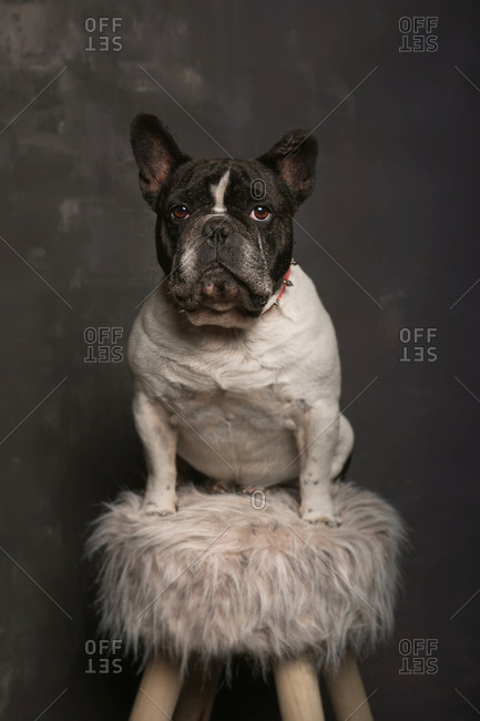 Adorable small obedient short haired French Bulldog sitting on soft fabric on wooden stool near grey wall