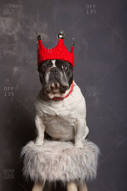 Adorable small calm short haired French Bulldog in colorful crown and spiked collar sitting on stool with soft fabric near gray cement wall