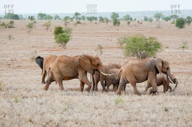 Elephant (Loxodonta africana), Lualenyi Ranch, Taita Hills, Kenya, East Africa, Africa