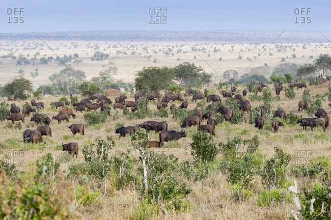 Herd of African Buffalo (Syncerus caffer), Taita Hills Wildlife Sanctuary, Kenya, East Africa, Africa
