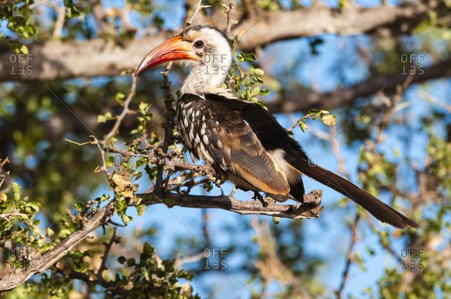 Northern red-billed hornbill (Tockus erythrorhynchus), Tsavo East, Kenya, East Africa, Africa
