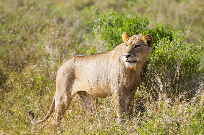 One young male lion (Panthera leo), Tsavo East National Park, Kenya, East Africa, Africa
