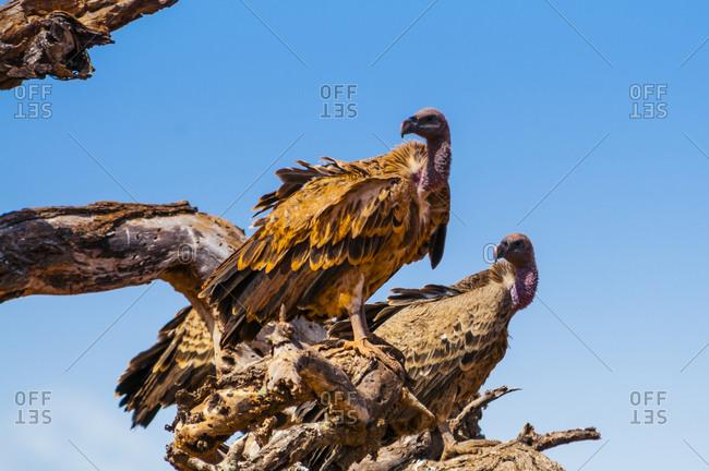 February 9, 2017: Ruppell's Griffon Vulture (Gyps rueppelli), Tsavo West National Park, Kenya, East Africa, Africa
