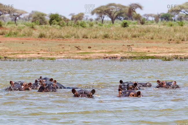 Hippopotamus (Hippopotamus amphibius), Lake Jipe, Tsavo West National Park, Kenya, East Africa, Africa