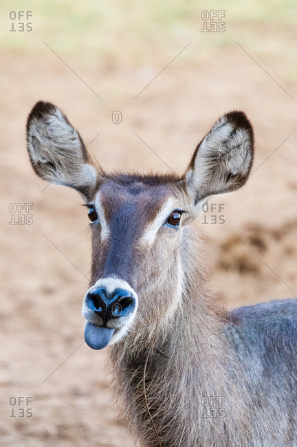 Female waterbuck (Kobus ellipsiprymnus) with snare around the neck, Taita Hills Wildlife Sanctuary, Kenya, East Africa, Africa