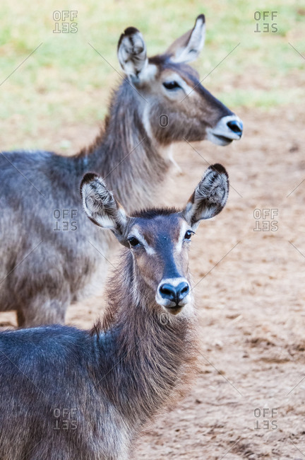 Two female waterbuck (Kobus ellipsiprymnus), Taita Hills Wildlife Sanctuary, Kenya, East Africa, Africa