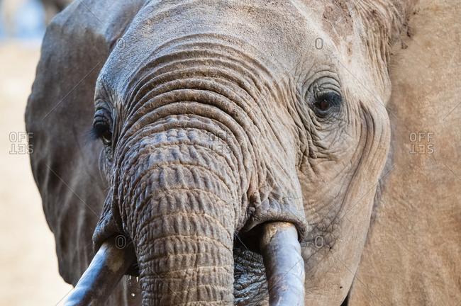 Elephant (Loxodonta africana), Taita Hills Wildlife Sanctuary, Kenya, East Africa, Africa