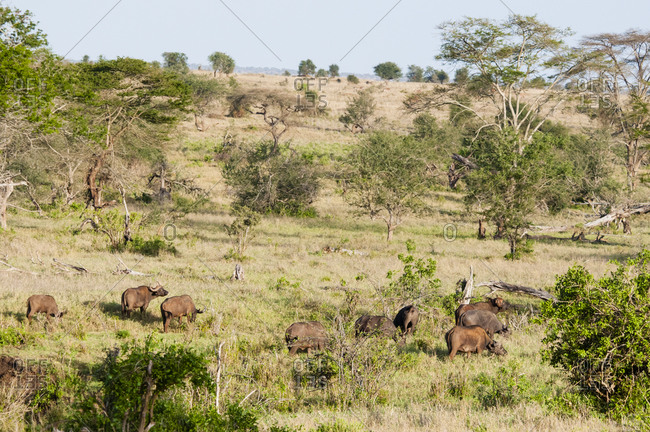 Herd of African Buffaloes (Syncerus caffer), Taita Hills Wildlife Sanctuary, Kenya, East Africa, Africa
