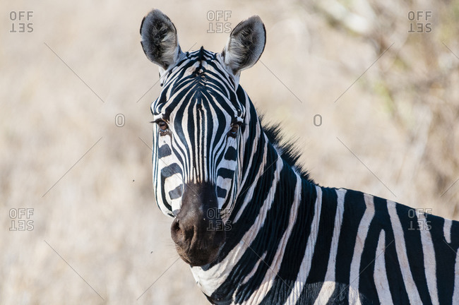 Plains zebra (Equus quagga), Taita Hills Wildlife Sanctuary, Kenya, East Africa, Africa