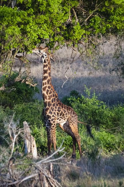 Male Maasai giraffe (Giraffa camelopardalis tippelskirchii), Taita Hills Wildlife Sanctuary, Kenya, East Africa, Africa