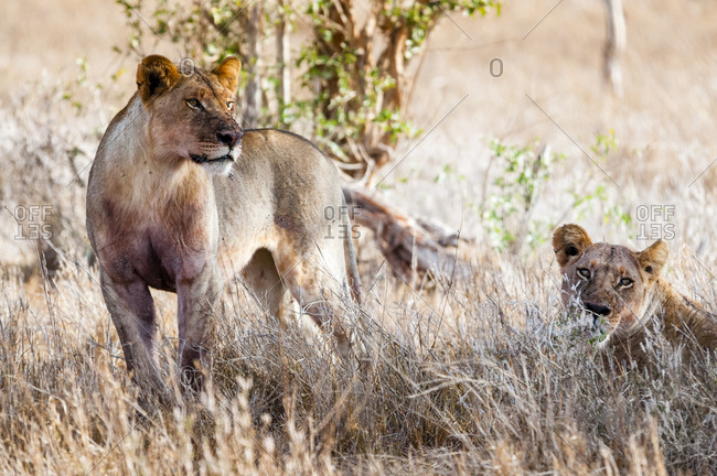 Young lions (Panthera leo) in the bush, Taita Hills Wildlife Sanctuary, Kenya, East Africa, Africa