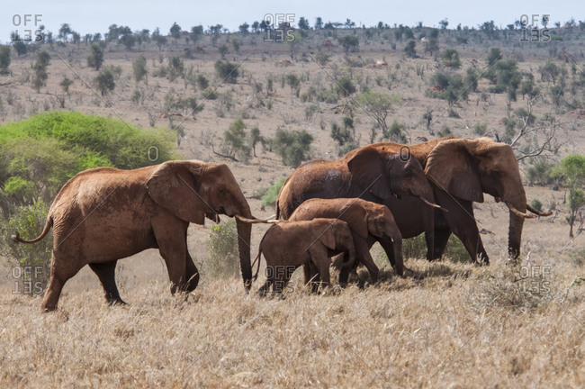 February 13, 2017: Herd of Elephants (Loxodonta africana), Taita Hills Wildlife Sanctuary, Kenya, East Africa, Africa