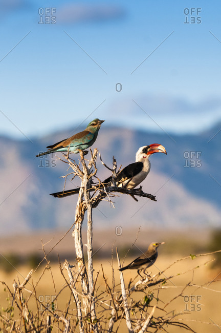 European roller (Coracias garrulus) on top, Von der Decken's hornbill in center, above Ashy starling (Lamprotornis unicolor), Taita Hills, Kenya, East Africa, Africa