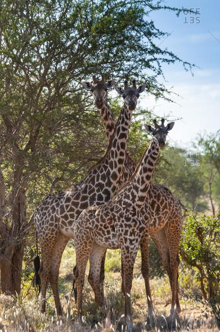 February 14, 2017: Maasai giraffes (Giraffa tippelskirchi), Tsavo East National Park, Kenya, East Africa, Africa