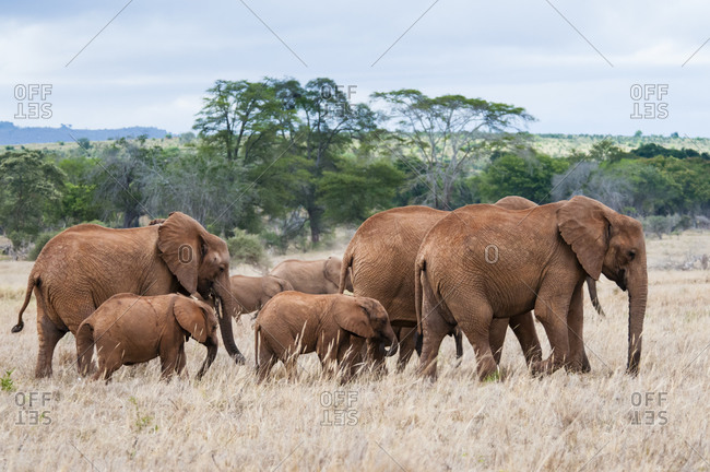 Herd of Elephants (Loxodonta africana), Taita Hills Wildlife Sanctuary, Kenya, East Africa, Africa