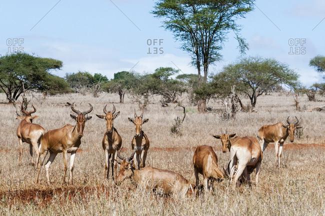 Herd of Hartebeests (Alcelaphus buselaphus), Taita Hills Wildlife Sanctuary, Kenya, East Africa, Africa