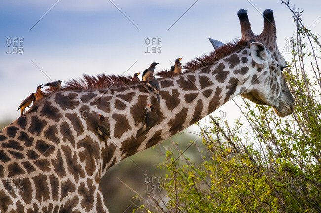 Male Maasai giraffe (Giraffa tippelskirchi), Oxpeckers (Buphagus erythrorhynchus) on his neck, Tsavo East National Park, Kenya, East Africa, Africa