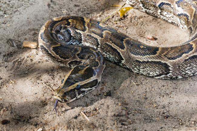 African rock python (Python sebae), Tsavo East National Park, Kenya, East Africa, Africa