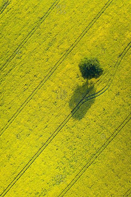 Lone tree in oil seed rape field, Devon, England, United Kingdom, Europe