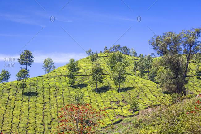 Tea Estate, Munnar, Kerala, India, Asia