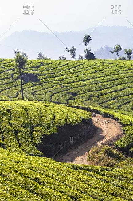 View over tea estates, Munnar, Kerala, India, Asia