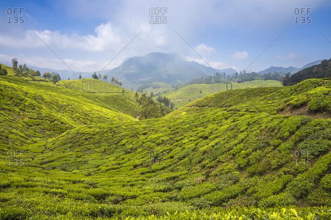 Tea estate near top station, Munnar, Kerala, India, Asia