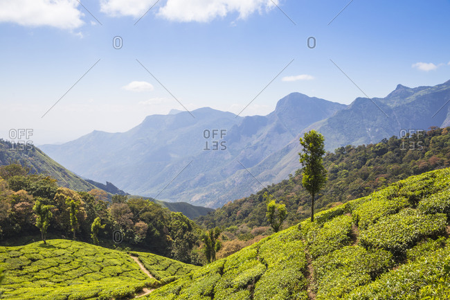 Tea estate at top station, Munnar, Kerala, India, Asia