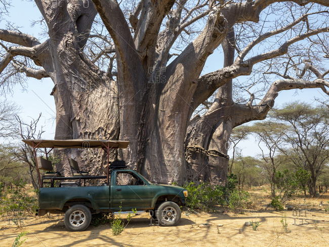 September 21, 2019: A large African baobab (Adansonia digitata), reputed to be one of the largest in the country, Save Valley, Zimbabwe, Africa