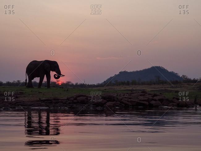 An adult African bush elephant (Loxodonta africana) at sunset on the shore of Lake Kariba, Zimbabwe, Africa