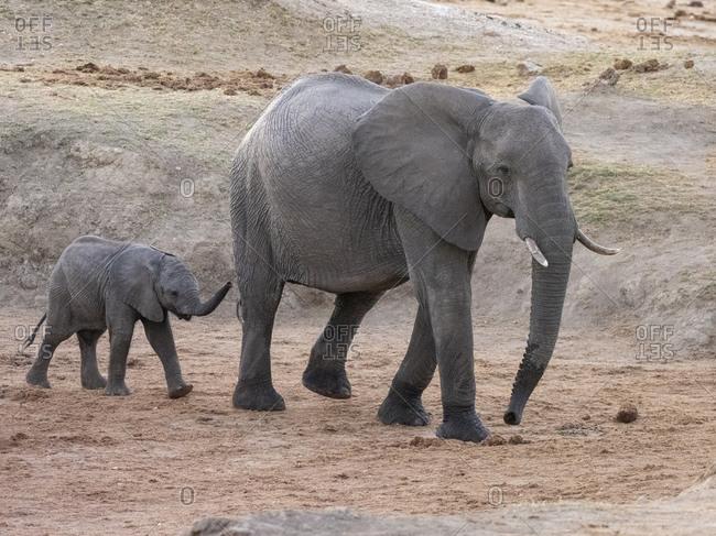 African bush elephant (Loxodonta africana), mother and calf in Hwange National Park, Zimbabwe, Africa