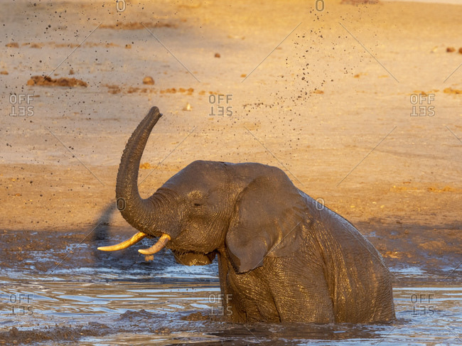 African bush elephant calf (Loxodonta africana), playing in a watering hole in Hwange National Park, Zimbabwe, Africa