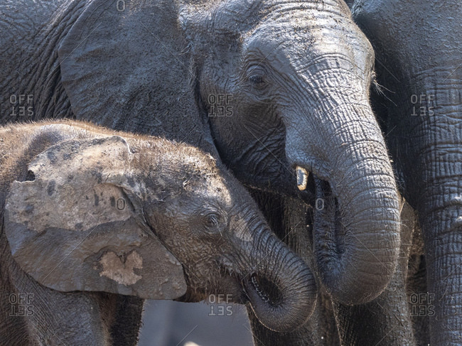 African bush elephant mother and calf (Loxodonta africana) in Hwange National Park, Zimbabwe, Africa