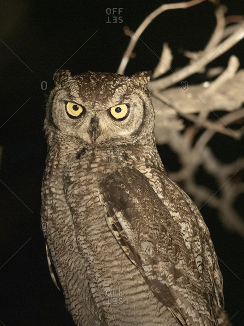 Adult African spotted eagle-owl (Bubo africanus), perched at night in the Save Valley Conservancy, Zimbabwe, Africa
