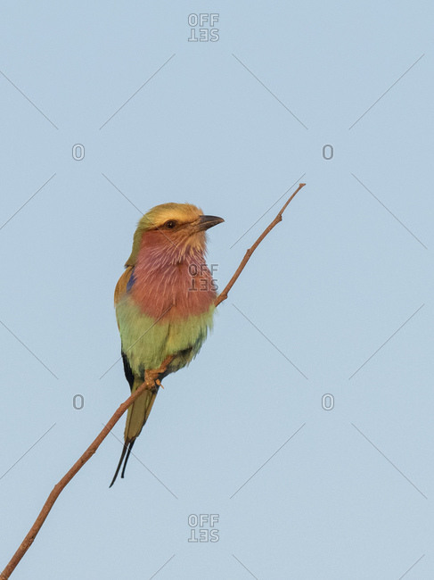 September 10, 2019: An adult lilac-breasted roller (Coracias caudatus) in Hwange National Park, Zimbabwe, Africa