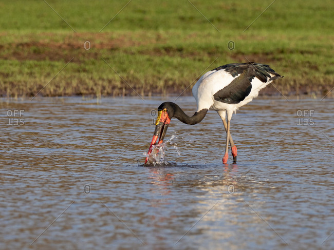 Adult saddle-billed stork (Ephippiorhynchus senegalensis,) searching for food on Lake Kariba, Zimbabwe, Africa