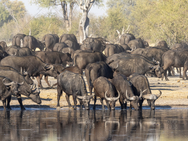 Cape buffalo herd (Syncerus caffer) at a watering hole in Hwange National Park, Zimbabwe, Africa