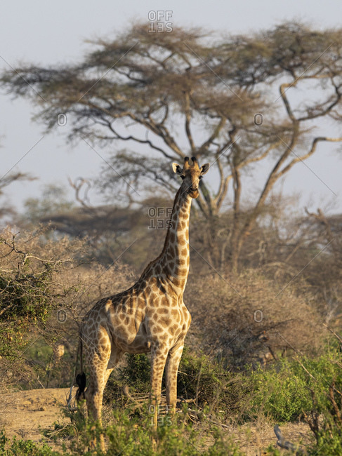 An adult Cape giraffe (Giraffa camelopardalis giraffa), in the Save Valley Conservancy, Zimbabwe, Africa