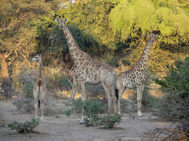 Cape giraffes (Giraffa camelopardalis giraffa), in the Save Valley Conservancy, Zimbabwe, Africa