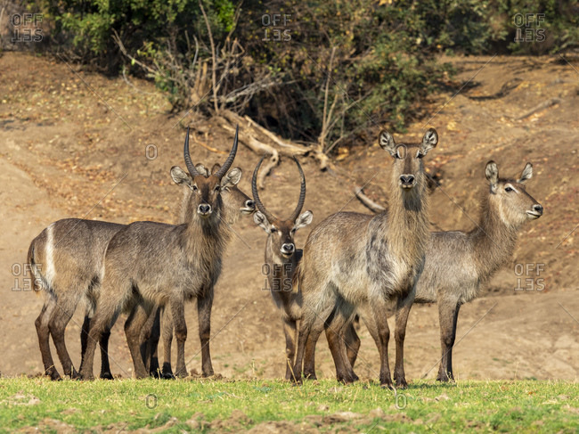 A small herd of common waterbucks (Kobus ellipsiprymnus), on the shoreline of the Lower Zambezi River, Zimbabwe, Africa