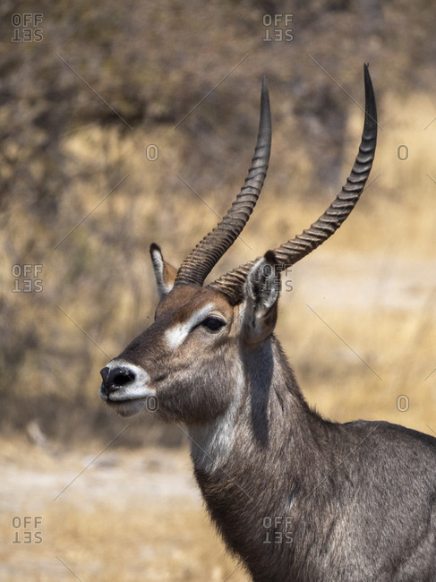 An adult male common waterbuck (Kobus ellipsiprymnus) along the Lukosi River, Hwange National Park, Zimbabwe, Africa