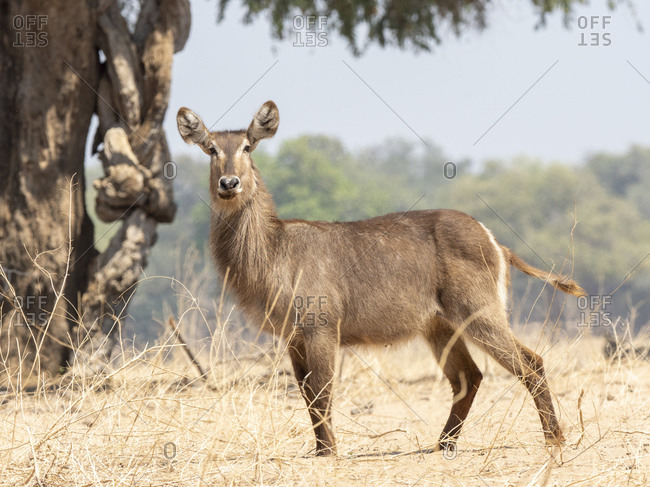 An adult female common waterbuck (Kobus ellipsiprymnus) on the shoreline of the Lower Zambezi River, Zimbabwe, Africa
