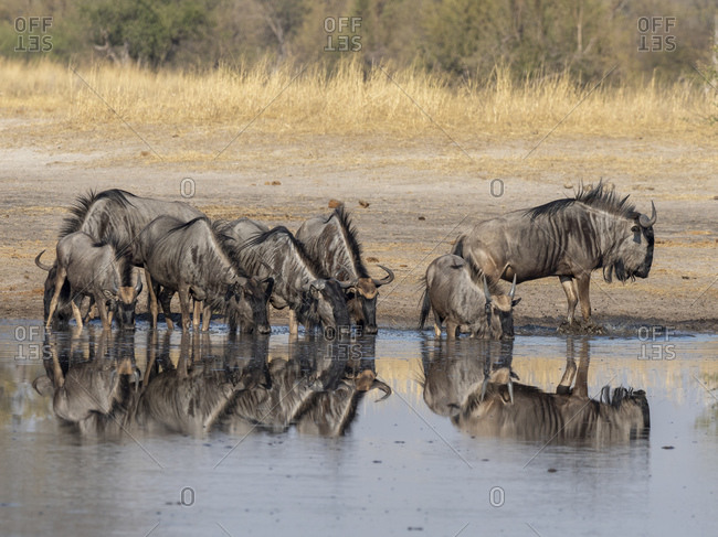 Adult common wildebeest (Connochaetes taurinus), drinking near the Lukosi River, Hwange National Park, Zimbabwe, Africa