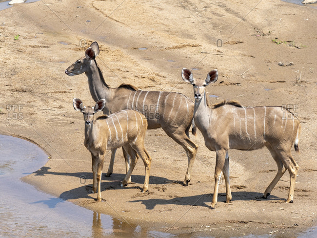 Adult female greater kudus (Tragelaphus strepsiceros), with young in the Save Valley Conservancy, Zimbabwe, Africa