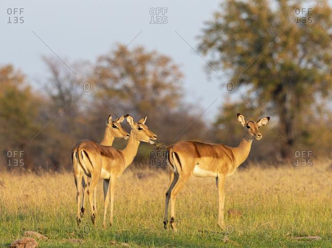 Adult female impalas (Aepyceros melampus) along the shoreline of Lake Kariba, Zimbabwe, Africa